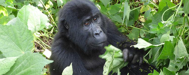 Gorilla trekking Bwindi
