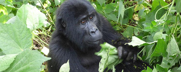 Gorilla wildlife