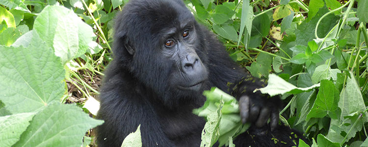 2-Days-Gorilla-Tracking-Bwindi