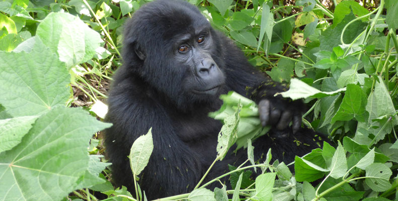 3 day Gorilla tracking Bwindi