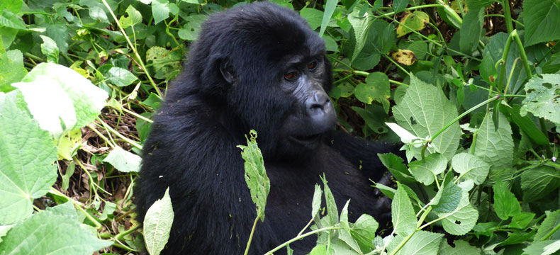 2 Days Gorilla Tracking