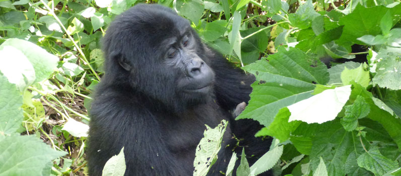 2 Days Gorilla Tracking