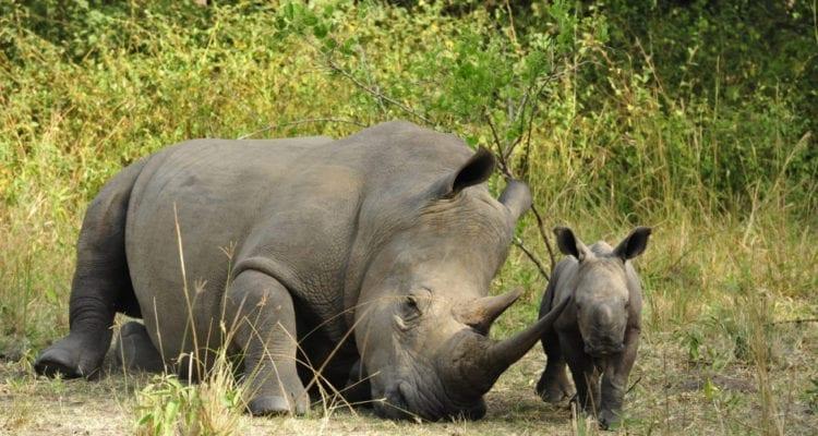 1 day Uganda Rhino
